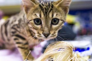 Ponad 200 rasowych kotów na wystawie w hali AWFiS