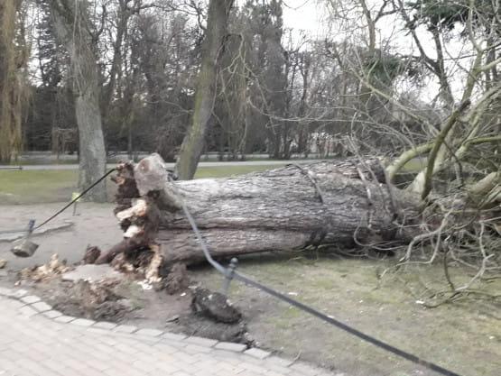 Przewrócone drzewo w Parku Oliwskim