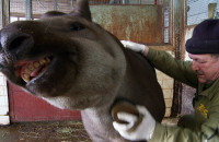ZOO: szczotkowanie tapirów