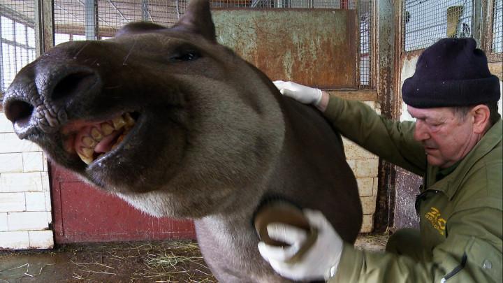 Picasso lubi drapanie po grzbiecie, aKluska chciałaby, aby pieszczoty nie miały końca. Zobacz szczotkowanie tapirów wgdańskim ZOO.