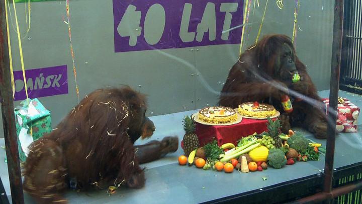 Zobacz, jak wyglądała impreza zokazji 40. urodzin orangutanów Alberta iRai.