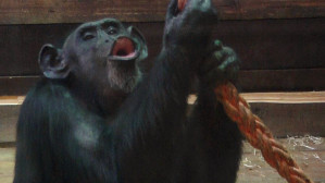 ZOO: Bob Marley pomaga małpom