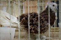 Gołębie w Amber Expo