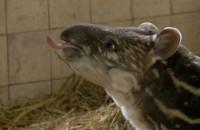 ZOO: mała tapirzyca