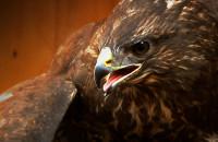 Ratują dzikie ptaki