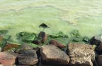 Sinice w wodzie w Gdyni