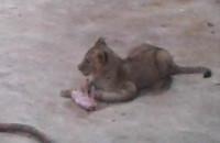 Lwiątka Tshibindy dołączyły do stada
