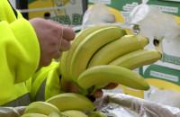 Jak to się robi? Dojrzewalnia bananów