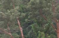 Wicher w sopockim  lesie 17 06 2016