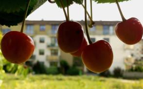 Drzewa owocowe przy nowych osiedlach