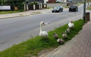 Rodzina łabędzi spaceruje przy Myśliwskiej w Gdańsku