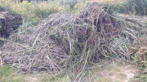 Cuchnące składowisko trawy na Olszynce