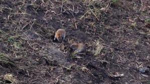 Szczury baraszkują nad Potokiem Oliwskim