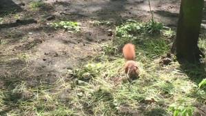 Wiewiórki w Parku Oliwskim w Gdańsku