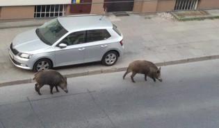 Dziki spacerują sobie po Warszawskiej w Gdyni