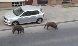 Dziki spacerują sobie po ...