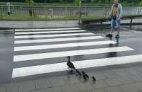 Akcja ratowania kaczki z pisklakami
