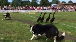 Psy zaganiają kaczki