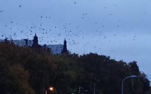 Setki wron nad dworcem  w Gdańsku