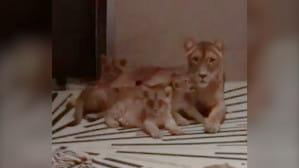 Cztery lwiątka urodziły się w gdańskim zoo