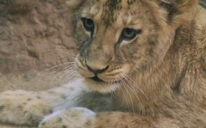 Mała lwica otrzymała imię za 45 tys. zł