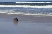Bóbr chodził po plaży