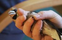 Obrączkowanie ptaków w Leśnym Ogrodzie Botanicznym Marszewo