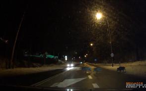 Kierowca wjeżdża w rodzinkę dzików w Gdyni