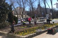 Wiosenne kwiaty wyrastają w centrum Gdyni