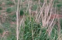 Dziki na Ujeścisku