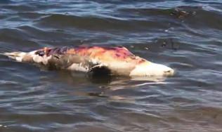 Martwa foka na plaży w Brzeźnie