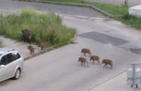 Dziki na spacerze, ulica Morska w Gdyni