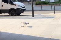 Mewa zjada małego ptaka