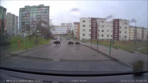 Dziki na Karwinach