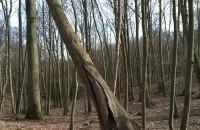 """""""Zdrowe"""" drzewo jednak nie żyje"""