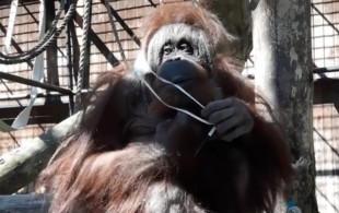 """Orangutanica Raja """"przymierza"""" maseczkę ochronną"""