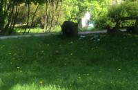 Dzik w parku Kolibki