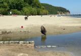Dziki między plażowiczami w Orłowie