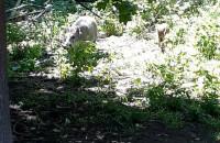 Dziki w Oliwie