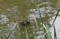 Żółw w parku oruńskim na gościnnych występach