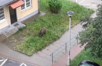 Dziki koło bloków na Karpackiej w Oliwie