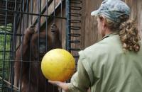 ZOO: Gimnastyka leciwych orangutanów