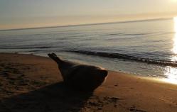 Foka na plaży w Sopocie