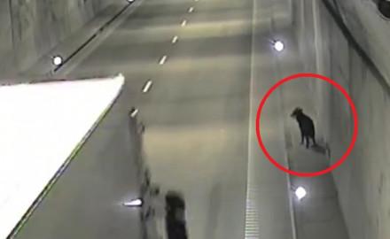 Pies na spacerze w tunelu pod Martwą Wisłą