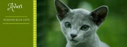 Avari - hodowla kotów rasy burmilla i rosyjski niebieski
