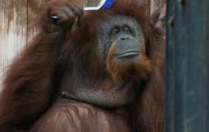 40 urodziny orangutanów z gdańskiego ZOO