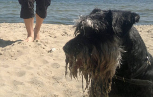 Psy na sopockiej plaży? Tylko wieczorem