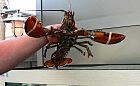 Świeży homar nad Bałtykiem? To możliwe