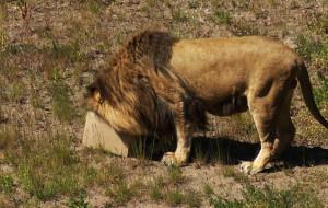 Czy lwy pomogą pobić rekord frekwencji w ZOO?