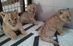 Kolejne narodziny lwiątek w ZOO